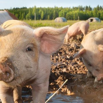 Solutions for Pig farming